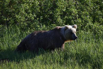Пожилая россиянка сутки отпугивала медведя рычанием