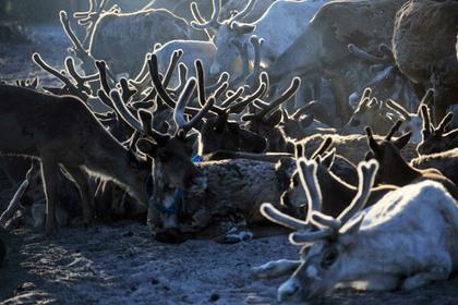На Ямале привили более 300 тысяч оленей от сибирской язвы