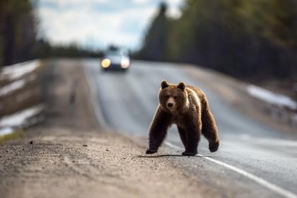 Голодные медведи перекрыли туристический маршрут на Камчатке