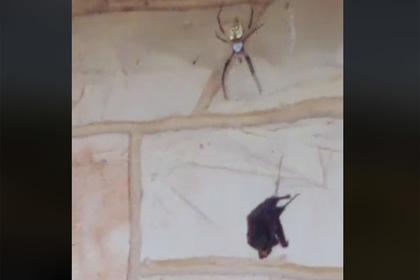 Гигантский паук расправился с летучей мышью на глазах у женщины