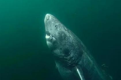 Найдена 500-летняя акула