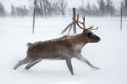 Северного оленя захотели причислить к редким видам животных
