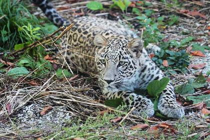 У редкого леопарда на Кавказе появилась онлайн-трансляция
