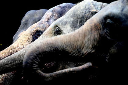 Голодный слон искал еду и затоптал ребенка