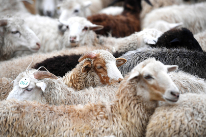 Россия нарастит экспорт баранины в Иран
