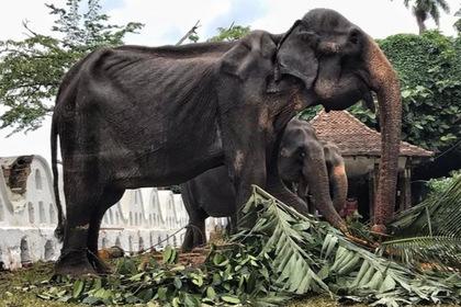 Зоозащитники показали тощее тело измученного на фестивале слона