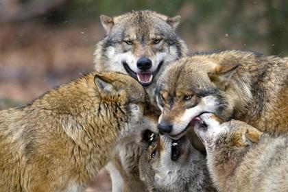 Волк напал на спящих в палатках туристов