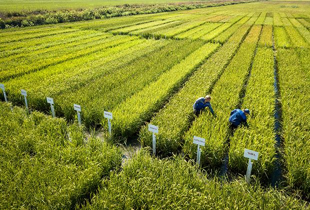 Выращивание риса агрохолдингом «АФГ Националь» в Краснодарском крае