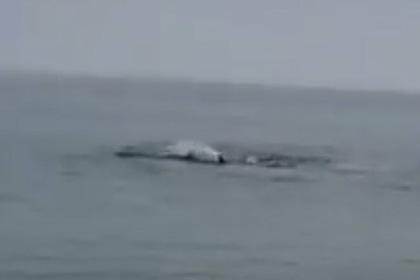 Кровожадная белая акула расправилась с тюленем на глазах у людей