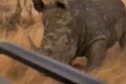 Злой носорог пустился в погоню за туристами