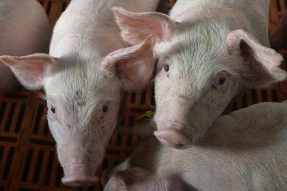 Стало известно о планах России поставлять свинину в Китай