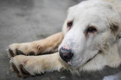 Москвич привязал собаку к движущейся машине