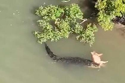 Кровожадный крокодил стащил свинью с берега и уплыл с ней