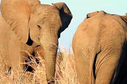 Слон победил своего сородича и споткнулся на ровном месте