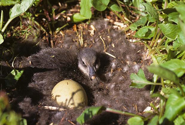 Птенец гаги в гнезде среди пуха