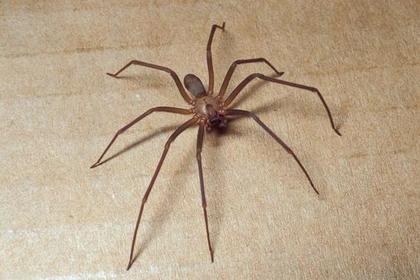 Женщина пожаловалась на воду в ухе и нашла там ядовитого паука