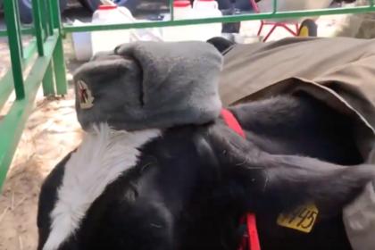 Фермер нарядил коров в форму советских солдат и возмутил россиян