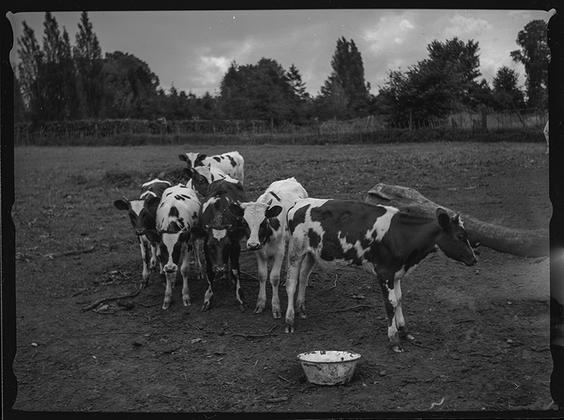 Телята. Англия, 1939 год