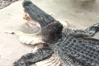 Трехметровый аллигатор погнался за каякером и сам попался