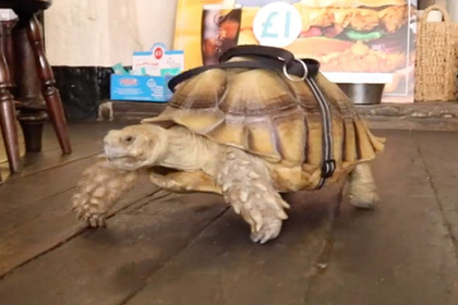 Большая черепаха повадилась ползать в пивную