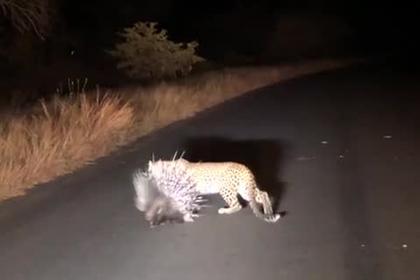 Глупый леопард напал на дикобраза и остался ни с чем