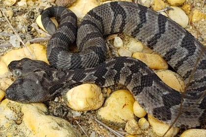 Найдена редкая двухголовая гремучая змея