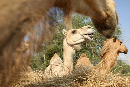 Верблюд наступил туристке на лицо и поломал ей ребра