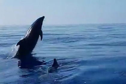 Дельфин поблагодарил рыбаков за спасение детеныша