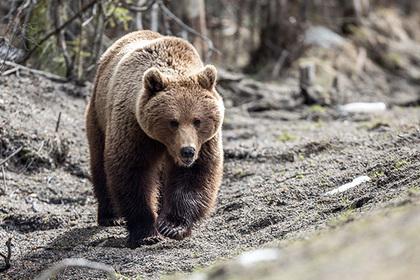 Мужчина оставил женщину медведю и убежал