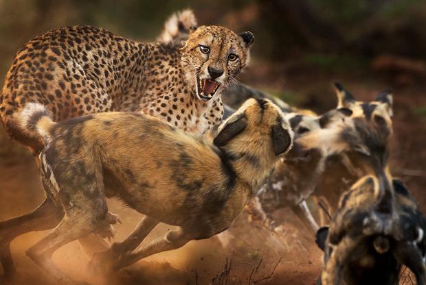 В частном заказнике в Южной Африке британскому фотографу Питеру Хейгарту попалась стая гиеновидных собак. В надежде на удачный кадр он поехал за ними на машине. Собаки гнались за бородавочником, но упустили его и окружили старого гепарда с рваным ухом. Ему удалось сбежать лишь через несколько минут.
