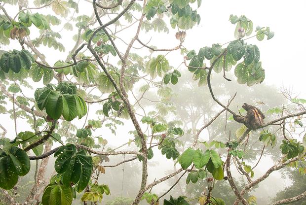Карлос Перес Наваль сфотографировал бурогорлого ленивца, когда отдыхал в Панаме с родителями. Судя по оранжевой шерсти и черной полосе на спине, это был взрослый самец. Он свисал с цекропии, лишь изредка переползая с ветки на ветку.