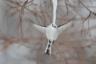 Фотограф Диана Ребман из США встретила стайку длиннохвостых синиц и болотных гаичек во время поездки по японскому острову Хоккайдо. Птицы по очереди клевали большую сосульку, которая свисала с ветки. Так продолжалось до тех пор, пока не выглянуло солнце. Когда лед начал таять, одна из синиц попыталась сесть на сосульку и сломала ее.