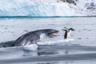 Испанский фотограф Эдуардо Дель Аламо наблюдал за колонией папуанских пингвинов на антарктическом острове Кувервилль, когда под его надувной лодкой проплыл морской леопард. Хищник подбирался к пингвину, который примостился на обломке льда. Дель Аламо знал, что произойдет дальше, и приготовился снимать.