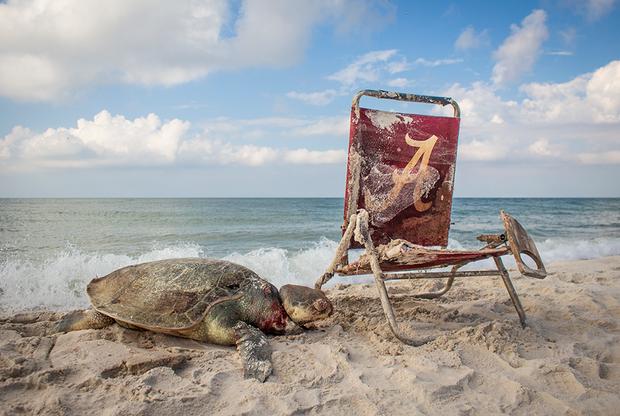 Когда фотограф Мэтью Вейр заметил на пляже в Алабаме редкую морскую черепаху, сцена казалась почти идиллической. Только подойдя поближе, он разглядел на ее шее петлю, которая была привязана к стулу. Черепахи, относящиеся к виду американская ридлея, часто гибнут из-за рыбацких сетей и мусора, который попадает в море.