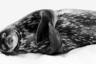 Чтобы сделать этот снимок, фотограф Ральф Шнайдер подплыл на лодке к тюленю Уэдделла, который спал на льду у берега субантарктического острова Южная Георгия. Животное расслабилось в относительно безопасном месте, где ему не грозят ни морские леопарды, ни косатки.
