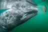 Немецкий фотограф Томас Пешак снял встречу молодого серого кита с туристами в лагуне Сан-Игнасио у берегов мексиканской Нижней Калифорнии. Нередко китята и их матери специально разыскивают людей, чтобы те почесали им спинку.