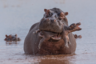 В Зимбабве швейцарский фотограф Адриан Хирши стал свидетелем нападения взрослого гиппопотама на новорожденного детеныша. Он атаковал мать малыша, а потом схватил бегемотика в зубы и попытался сначала утопить, а потом раздавить его.