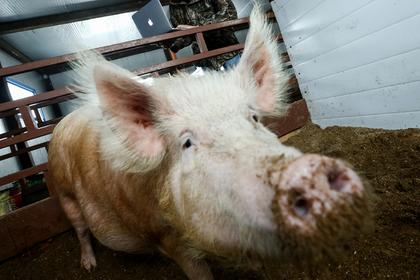 Российские полицейские начали эксперименты со свиньями