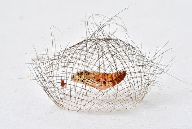 Китайский фотограф Минхой Юань снял куколку мотылька. Кокон примостился на стене под сплетенной из тончайшего шелка «клеткой», которая способна защитить его от некоторых хищников.