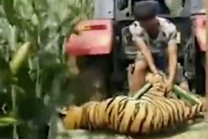 Цирковой тигр вырвался на свободу и умер