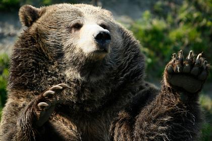 Хладнокровие спасло мужчин от смерти в лапах медведей