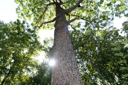 Более половины вырубленных деревьев в российском регионе заменят новыми