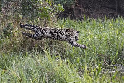 Смертоносная схватка аллигатора и ягуара попала на видео