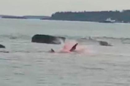 Акула-людоед вцепилась в тюленя на глазах у перепуганных туристов