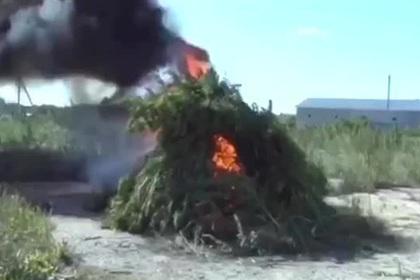 Костер из тонны конопли в Подмосковье попал на видео