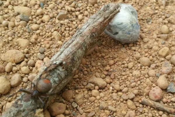 Паук со смертельным ядом поймал превосходящую его в размерах мышь