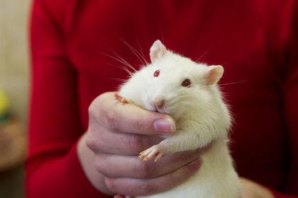 У крыс увидели потребность в развлечениях