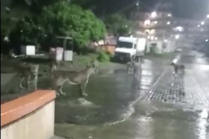 Дикие львы забрели в индийский город и устроили переполох