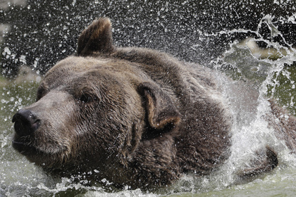 Мужчина защитил невесту от обезумевшего медведя и погиб