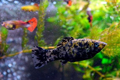 Крошечной аквариумной рыбке вырезали раковую опухоль